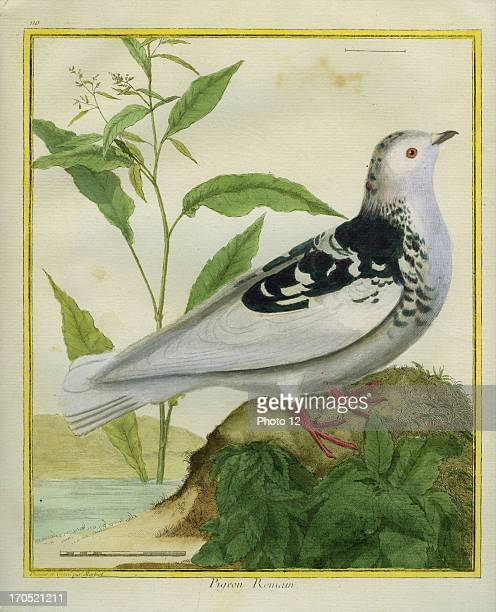 Roman Pigeon Columba liviaRoman PigeonGeorgesLouis Leclerc Comte of Buffon 'Natural History of birds fish insects and reptiles' coloured and engraved...