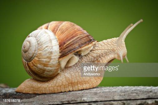 Roman Snail (Helix pomatia) on piece of wood