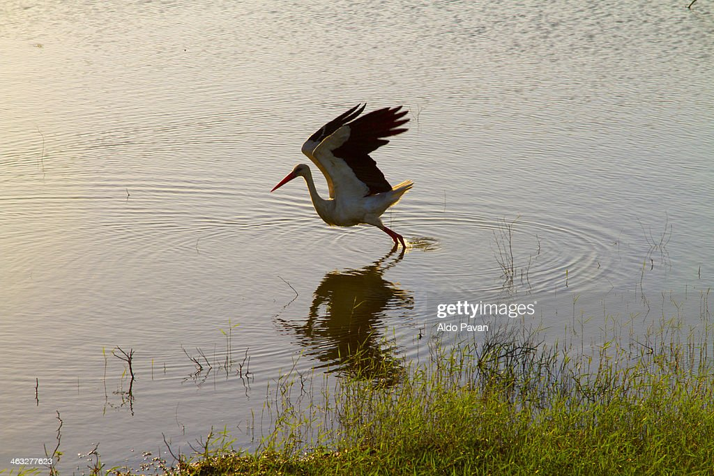 Romania, Cernavoda, stork : Stock Photo