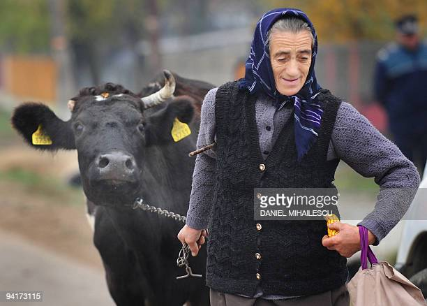 A Romanian woman pulls her cow next to a polling station in Sirbesti village 50 km west from Bucharest on December 6 2009 Romanians vote to choose in...