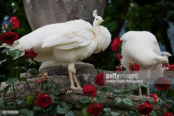 Romantic white peacocks