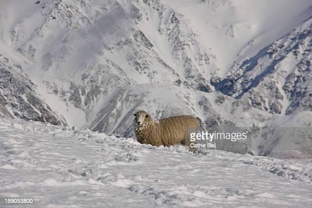 Romney sheep kneeling in snowy paddock.