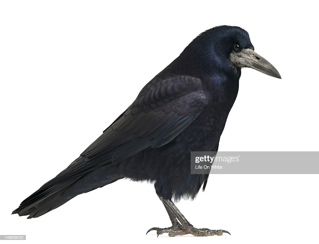 Rook - Corvus frugilegus (3 years old)