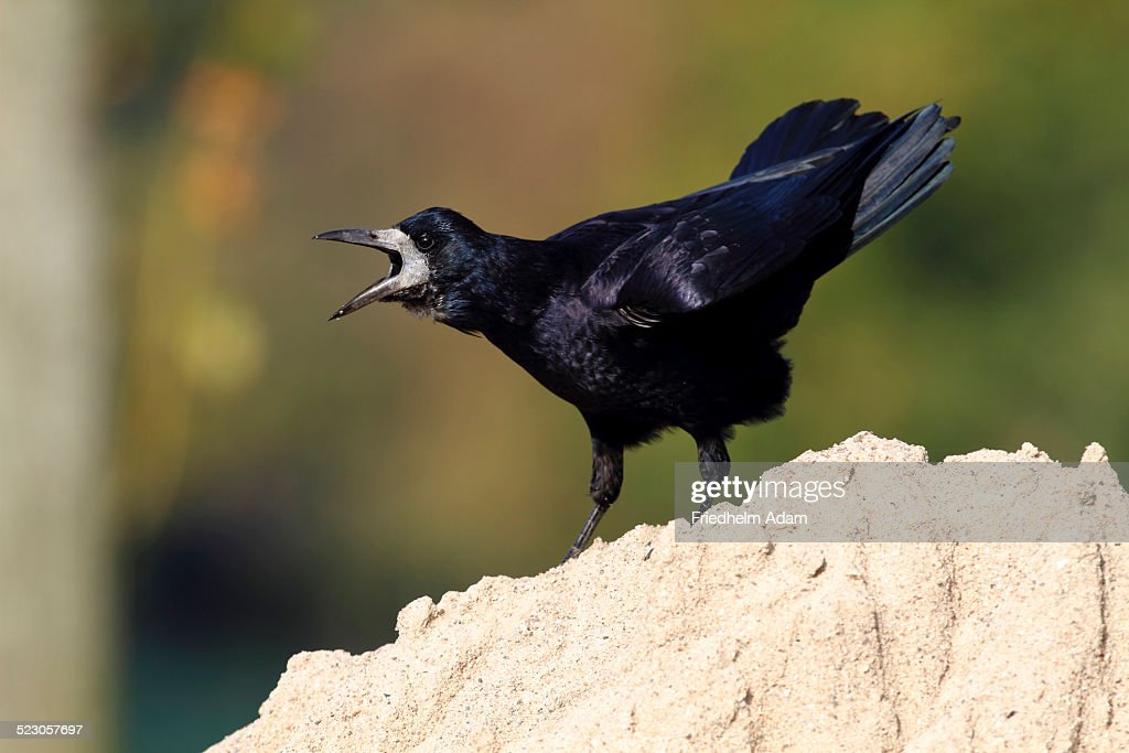 Rook -Corvus frugilegus-, standing on a sandy mount, calling, Baltic island of Fehmarn, East Holstein, Schleswig-Holstein, Germany, europe