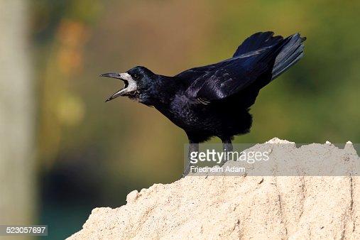 Rook -Corvus frugilegus-, standing on a sandy mount, calling, Baltic island of Fehmarn, East Holstein, Schleswig-Holstein, Germany, europe