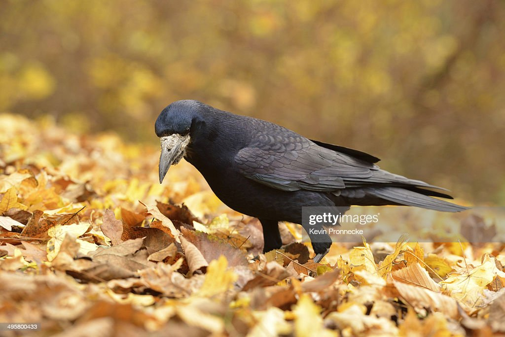 Rook -Corvus frugilegus- standing on autumn leaves, Leipzig, Saxony, Germany