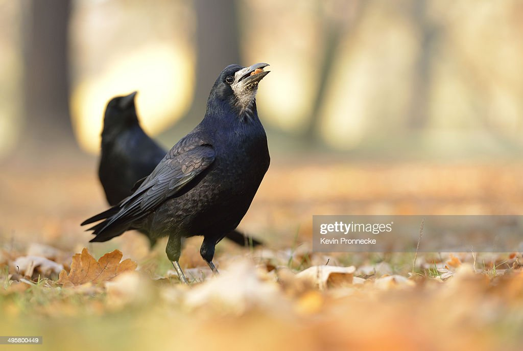 Rook -Corvus frugilegus- with a hazelnut in its beak, on autumn leaves, Leipzig, Saxony, Germany