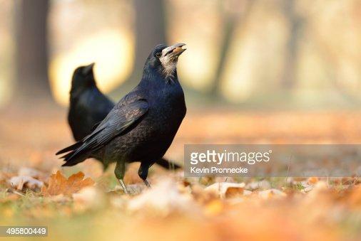 Rook -Corvus frugilegus- with a hazelnut in its beak, on autumn leaves, Leipzig, Saxony, Germany