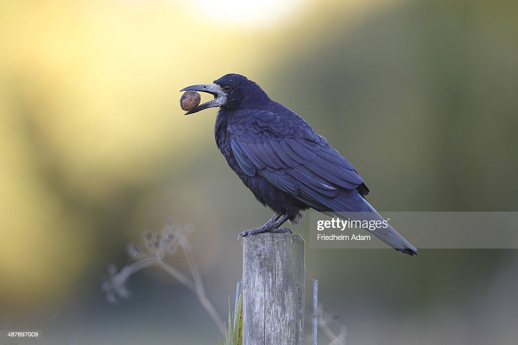 Rook -Corvus frugilegus- with walnut in its beak, perched on a fence post, Fehmarn Island, Schleswig-Holstein, Germany