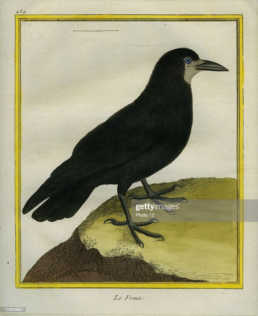 Rook Corvus frugilegusRookGeorgesLouis Leclerc Comte of Buffon 'Natural History of birds fish insects and reptiles' coloured and engraved by...