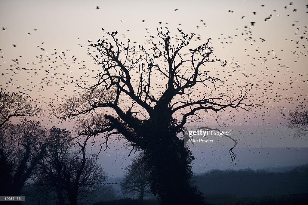 Rooks (Corvus frugilegus) circling over Britain's largest rookery, Norfolk, UK