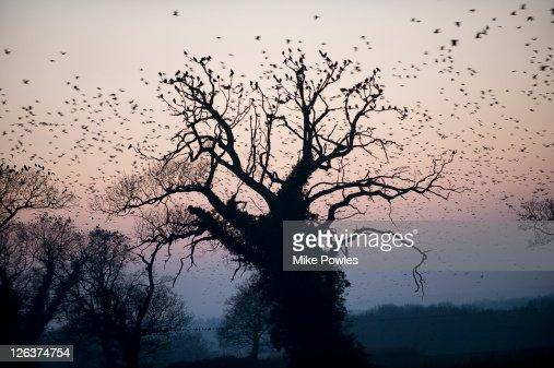 Rooks (Corvus frugilegus) circling over Britain's largest rookery, Norfolk, UK