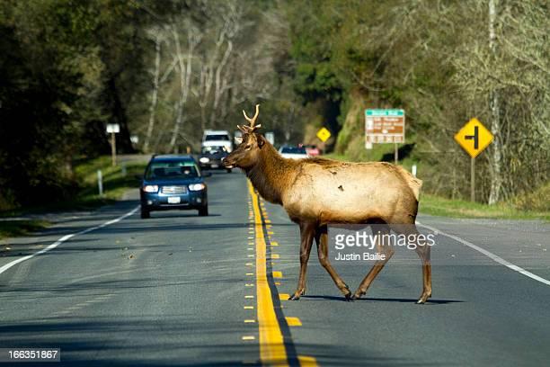 Roosevelt elk  crossing highway 101 in Redwood National Park, CA.