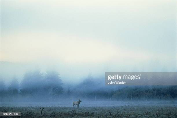 Roosevelt elk(Wapiti) in morning fog landscape behind,USA