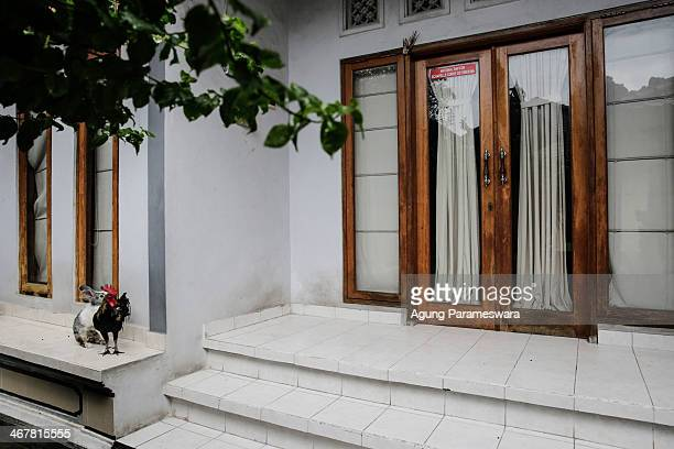 A rooster and a rabbit stand infornt of a house where Australian drug trafficker Schapelle Corby's sister and brother in law Mercedes Corby and Wayan...