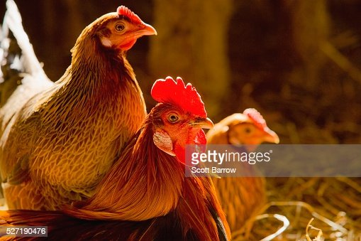 Rooster and hens : Stock Photo