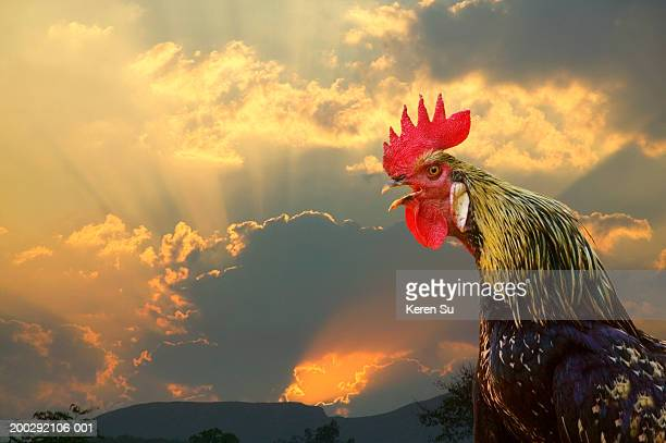 Rooster crowing, close-up, side view, sunrise