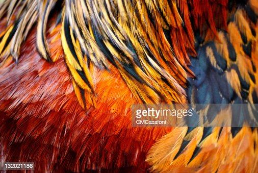 Rooster feathers : Stock Photo
