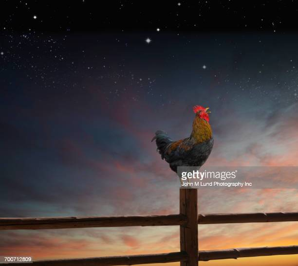 Rooster standing on fence post at night