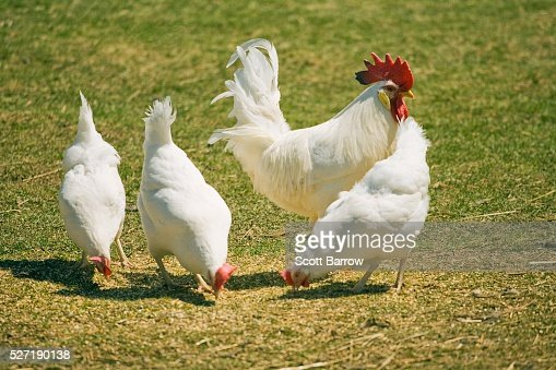 Rooster with chickens : Stock-Foto