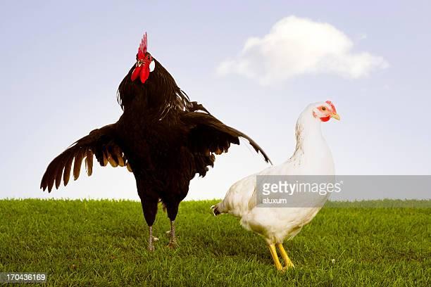 ルースター、鶏
