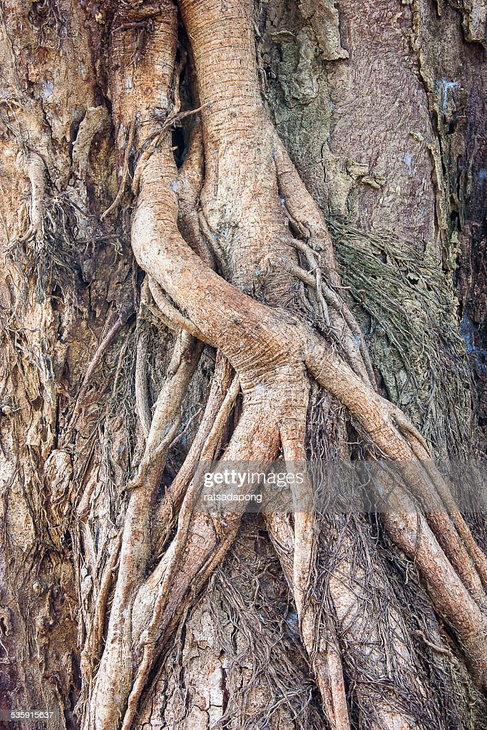 root of the tree. : Stock Photo