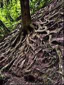 Roots of a tree at the surface in the forest