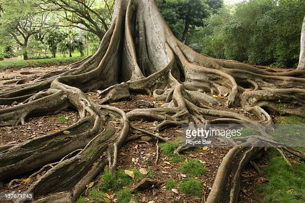 Roots of Bay fig