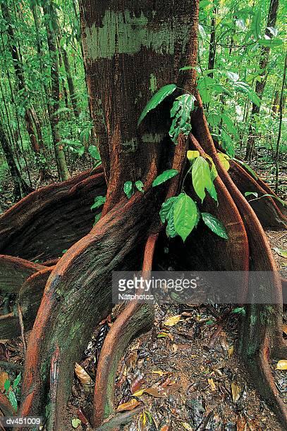 Roots of rainforest giant tree, Mossman Gorge, Daintree National Park, Queensland, Australia