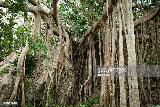 Roots of strangler fig trees in jungle