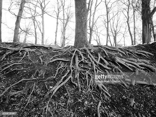 Roots Of Tree In Forest