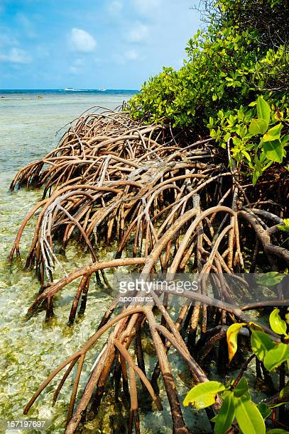 Les racines de la mangrove tropicale