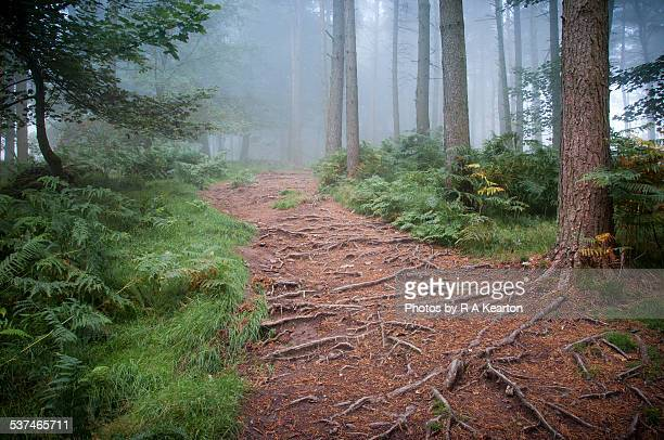 A rooty forest path on a misty morning