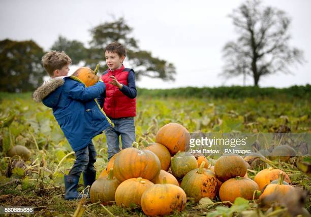 Rory Dixon and Daniel Gawish both aged 7 collect pumpkins on the pumpkin patch at Arnprior Farm Stirlingshire