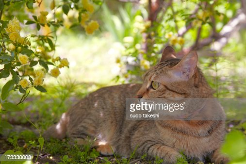 Rosa banksiae and a cat. : Stock Photo
