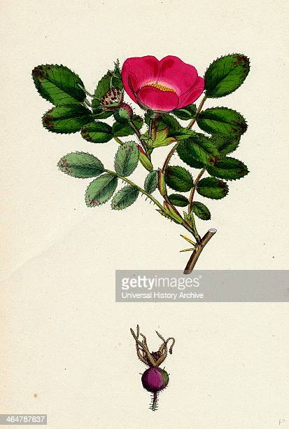 Rosa mollissima Softleaved Rose