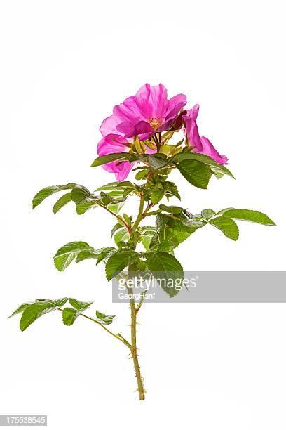 Rosa rugosa 咲きほこる