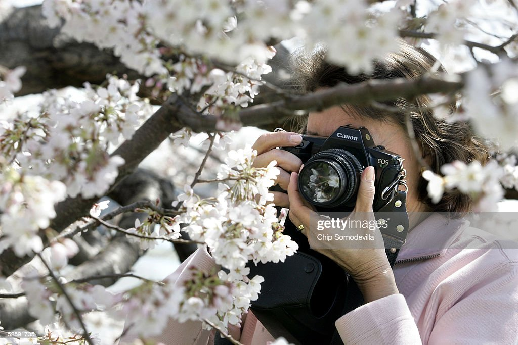 Rosario Ponte, of Alexandria, Virginia photographs the cherry tree blossoms that circle the Tidal Basin as the trees began to bloom April 5, 2005 in Washington. The National Cherry Blossom Festival -- a celebration to commemorate the 1912 gift of 3,000 Yoshino cherry trees from Japan -- will run until April 10. Originally from Venezuela, Ponte has been photographing the annual bloom for the past 30 years. She said it is her dream to be good enough to shoot photos for the National Geographic magazine.