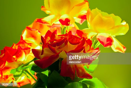 Rosas amarillas : Stock Photo