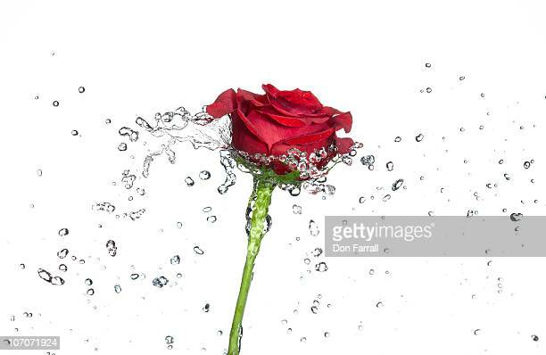 Rose and water spray