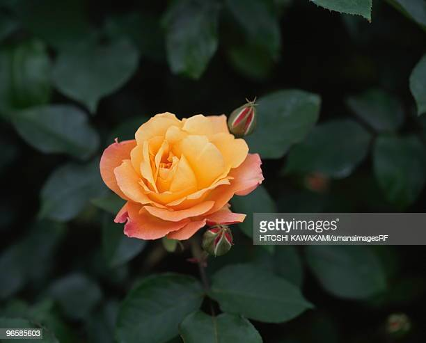 Rose, Anne Frank