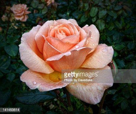 Rose at Lyme Park