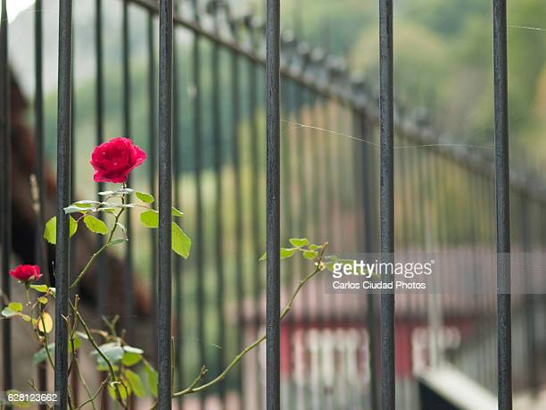 Rose blooming by fence in a yard