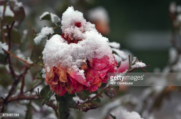 Rose blossoms are covered in snow in Goerisried southern Germany on November 13 2017 / AFP PHOTO / dpa / KarlJosef Hildenbrand / Germany OUT