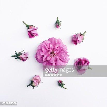 Rose buds in circle around rose head