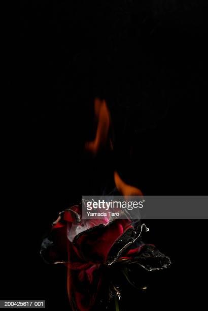 Rose (Rosa sp.) burnt