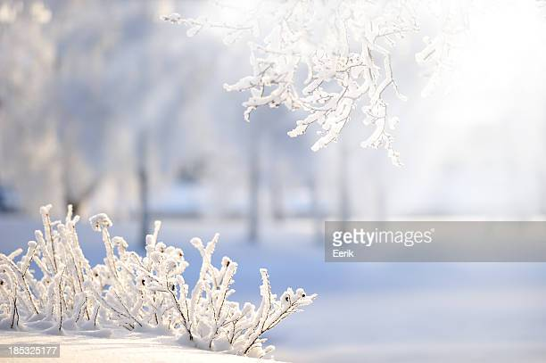 Rose-Scheinbeerensträuchern mit Schnee bedeckt