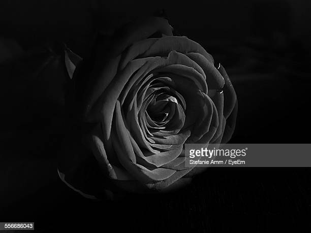 Rose Flower Against Black Background