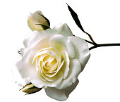 rose flower head isolated on white background cutout