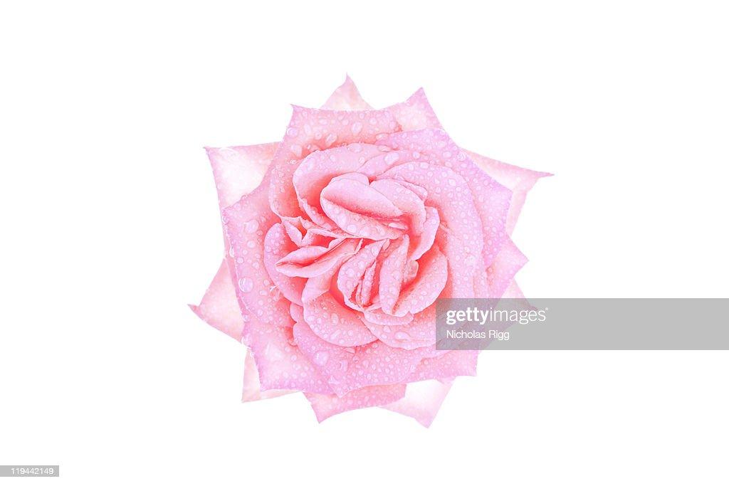 Rose flower : Stock Photo